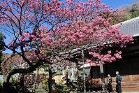 満開となった万福寺の土肥桜=静岡県伊豆市土肥で2017年1月16日、石川宏撮影