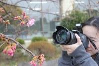 早くも数輪が開花した「頼朝桜」=千葉県鋸南町役場前で2017年1月19日、中島章隆撮影
