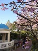 イクスピアリの庭園「リリーポンドガーデン」で早くも開花した河津桜=千葉県浦安市舞浜で2017年2月2日、小林多美子撮影