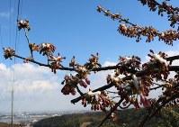 雪をかぶった青豊園の河津桜=福岡県豊前市松江で2017年2月10日、降旗英峰撮影