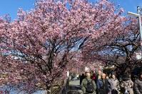 見ごろの木も多い河津川沿いの桜並木=静岡県河津町で2017年2月10日、梁川淑広撮影