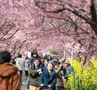 見ごろを迎えた河津桜の並木を歩き一足早い「春」を楽しむ人たち=静岡県河津町で2017年2月13日、梅村直承撮影