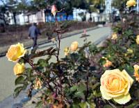 福山市内に咲くバラ=広島県福山市花薗町で、目野創撮影