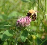 花を訪れるマルハナバチ。何の花かビビッときているはず=提供