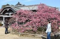 見ごろを迎えた鍋島邸のヒカンザクラ=長崎県雲仙市で2017年2月16日、近藤聡司撮影