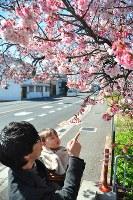見ごろを迎えた早咲きの桜=和歌山市中之島で2017年2月19日、倉沢仁志撮影