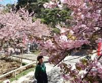 満開となった早咲きサクラの「てんれい桜」=三重県志摩市大王町波切の大慈寺で2017年2月25日
