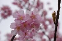 淡いピンクが美しいカワヅザクラ=埼玉県蕨市中央7の「ふるさと土橋公園」で2017年2月27日、鴇沢哲雄撮影