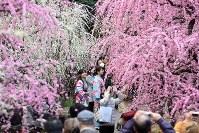 Blooming weeping plums are seen at Jonangu Shrine in Fushimi Ward, Kyoto, on March 7, 2017. (Mainichi)