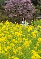 イズノオドリコとナノハナが同じ場所で咲き、ピンクと黄色のコントラストが楽しめる=鹿児島県指宿市山川のフラワーパークかごしまで2017年2月25日、津島史人撮影