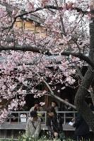 満開を迎えた原田家住宅の蜂須賀桜=徳島市かちどき橋3で2017年3月5日、河村諒撮影