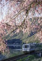 沈む寸前の夕刻の陽が、桜と列車と江ノ川のスポットライトになった=島根県美郷町のJR潮駅近くで2016年4月5日 日本写真家協会会員・船津健一