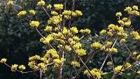 サンシュユの黄色い花々が早春の訪れを告げるように咲いていた=兵庫県宝塚市内で、高尾具成撮影