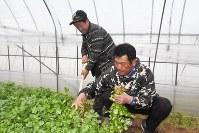 ビニールハウスで育ったパクチーを収穫する野原さん(左)と沼里さん