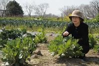 「土を触っていると安らかな気持ちになれます」。母・貞子さんが野菜作りをしていた畑で空豆を育てる細川江美子さん=和歌山市で10日