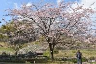 8分咲きのオオカンザクラ=北九州市門司区で2017年3月14日、奥田伸一撮影