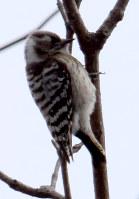 枝先に止まってドラミングするコゲラ