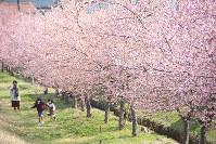 桜の並木道ではしゃぐ子どもたち=島根県雲南市大東町養賀で、藤田愛夏撮影