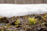 雪の間から顔を出したフキノトウ=長野県信濃町で、C・W・ニコル・アファンの森財団提供