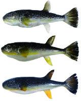 ショウサイフグ(上)、ゴマフグ(下)と、両種の雑種(中)=高橋洋講師提供
