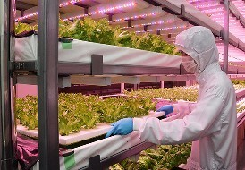 植物工場の実験施設で栽培するフリルレタス=三重県名張市希央台2で、鶴見泰寿撮影