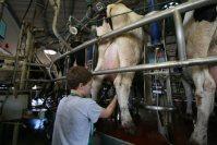 イスラエルは砂漠で畜産業も営む。夏場は気温が45度にも上りそのままでは搾乳量が減るが、牛にセンサーを取り付けて体温などを計測。シャワーや扇風機を牛舎に設置し、牛の体温が上がり過ぎないよう温度や湿度を管理している。このセンサーや体調管理システムなどは別途、商品として輸出しているという=10月27日午前、イスラエル南部ネゲブ砂漠のヨティバタ・キブツで大治朋子撮影