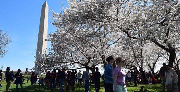 ポトマック川ほとりを彩る桜=米国ワシントンで2015年4月、清水憲司撮影