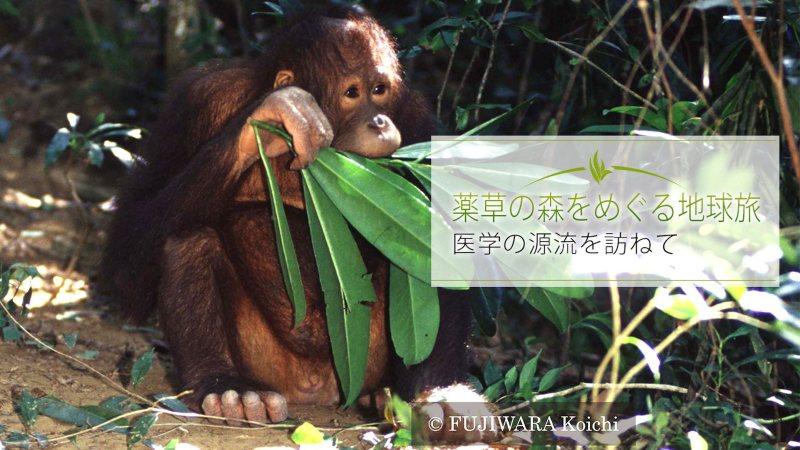 「森の人」を意味するオランウータン、学名Pongo pygmaeus。何十種類もの植物の葉や実を食べ、その中には人間が使う薬用植物も含まれている。オランウータンが暮らす森には50haに1000種類以上の樹木が生育している。