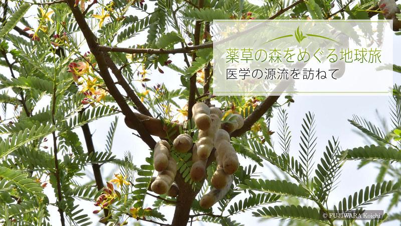 ジャムウの重要な材料であるアサム・ジャワ(学名:Tamarindus indica、英和名:タマリンド)は、インドから持ち込まれたアーユルヴェーダ薬用植物として、今では東南アジアに広く分布している。薄いピンクと黄色の花をつける。