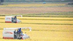 稲穂が実り、稲刈りに励む農家=秋田県大仙市で2015年10月4日、池田一生撮影