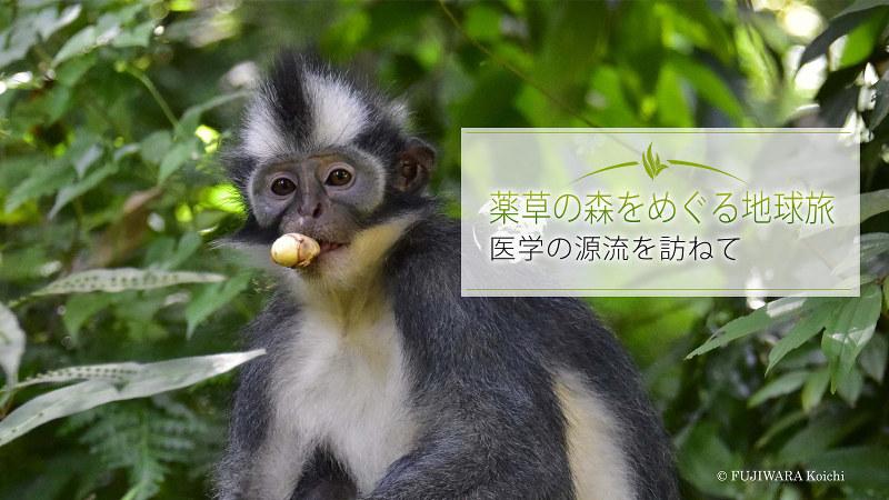 森で好物の果実を見つけ、食べはじめたトマスコノハザル(学名:Presbytis thomasi)。世界中でスマトラ北部だけに生息する。果実や種子を主食としているが、季節によっては花や葉も食べる