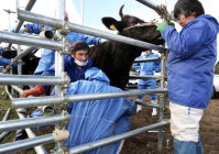 Veterinarians perform blood tests and other examinations on cows in the town of Okuma, Fukushima Prefecture, on Dec. 6, 2015, in order to determine their levels of radiation exposure. (Mainichi)