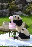 Baby panda Ohin (left) has a taste of an ice cake while her sister Tohin watches on the twins' first birthday on Dec. 3, 2015, at the Wakayama Adventure World theme park in Shirahama, Wakayama Prefecture. (Mainichi)