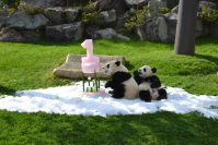 Baby pandas Tohin (left) and Ohin are seen with an ice cake on their first birthday on Dec. 3, 2015, at the Wakayama Adventure World theme park in Shirahama, Wakayama Prefecture. (Mainichi)