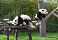 Baby pandas Tohin (right) and Ohin climb on a log set up in their enclosure as a first birthday present, on Dec. 3, 2015, at the Wakayama Adventure World theme park in Shirahama, Wakayama Prefecture. (Mainichi)