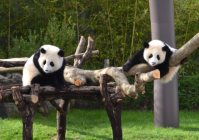 Baby pandas Tohin (left) and Ohin climb on a log set up in their enclosure as a first birthday present, on Dec. 3, 2015, at the Wakayama Adventure World theme park in Shirahama, Wakayama Prefecture. (Mainichi)
