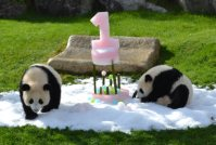 Baby pandas Tohin (right) and Ohin are seen with an ice cake on their first birthday on Dec. 3, 2015, at the Wakayama Adventure World theme park in Shirahama, Wakayama Prefecture. (Mainichi)