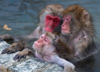 Monkeys relax and groom in a hot spring at Hakodate Tropical Botanical Garden in Hakodate, Hokkaido, on Dec. 1, 2015. (Mainichi)