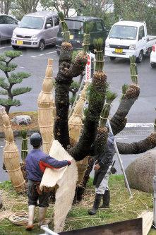 冬支度が進むソテツ=島根県大田市で、関谷徳撮影