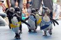 2013年の参院選、投票を呼びかけるペンギン=石川県七尾市ののとじま水族館で、丹下友紀子撮影