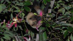 クビワオオコウモリの亜種で、大東諸島(南大東島、北大東島)だけに生息する国の天然記念物、ダイトウオオコウモリです。翼を広げると80cm近くあります。洞窟にすみ昆虫を食べるコウモリと違って、林に棲み、果物を食べるタイプで、子ギツネのようなかわいい顔をしています。環境省のレッドリストで「絶滅危惧IA類」(ごく近い将来における野生での絶滅の危険性が極めて高いもの)とされています=筆者提供