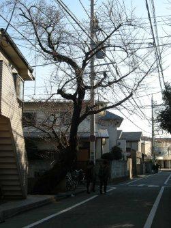 大きな桜の木=銅崎順子撮影