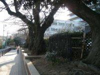 道沿いに立派なサクラの木=銅崎順子撮影