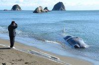 浅瀬に打ち上げられたクジラ=徳島県阿南市中林町で2016年1月20日午前、立野将弘撮影