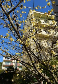 住民たちで植えたロウバイの木。黄色い小さな花から甘い香りを漂わせていた=2016年1月27日、内藤絵美撮影