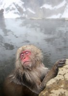 A Japanese macaque relaxes in a hot spring at the Jigokudani Yaen-koen wild monkey park in Yamanouchi, Nagano Prefecture. (Mainichi)
