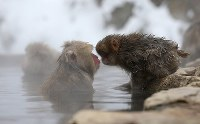 Japanese macaques relax after entering a hot spring at the Jigokudani Yaen-koen wild monkey park in Yamanouchi, Nagano Prefecture. (Mainichi)