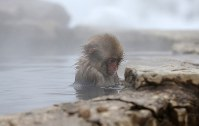 A young Japanese monkey remains still after getting into the water of a hot spring at the Jigokudani Yaen-koen wild monkey park in Yamanouchi, Nagano Prefecture. (Mainichi)