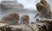 A young Japanese macaque, center, is groomed after getting into the water of a hot spring at the Jigokudani Yaen-koen wild monkey park in Yamanouchi, Nagano Prefecture. (Mainichi)