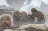 Japanese monkeys warm up as they groom each other while relaxing in the water at the Jigokudani Yaen-koen wild monkey park in Yamanouchi, Nagano Prefecture. (Mainichi)